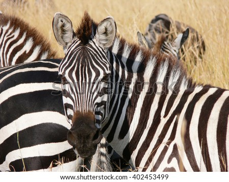 zebra's portrait surrounded by dry grass  in the savannah of masai Mara - stock photo