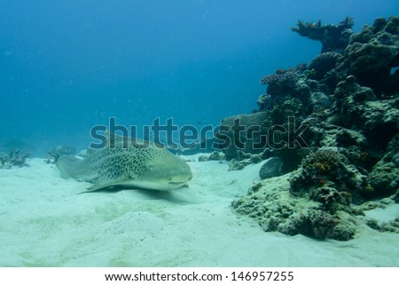 Zebra shark, leopard shark, stegostoma fasciatum, fiji - stock photo