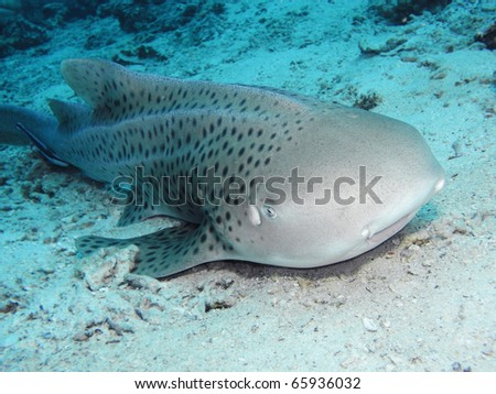 Zebra shark relaxing at the sand bottom - stock photo