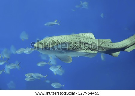 Zebra shark swimming in blue water at Phi Phi, Thailand