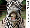 Zebra smile and teeth - stock photo