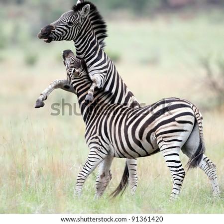 Zebra Stallions fighting - stock photo