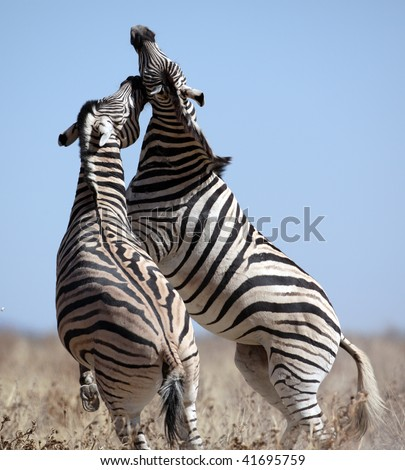 Zebra stallions fighting, Etosha National Park, Namibia - stock photo