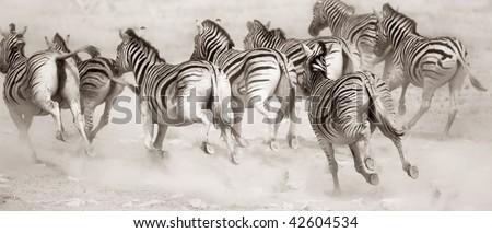 Zebra stampede in a cloud of dust : Etosha - stock photo