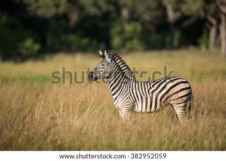 Zebra standing alert in Khwai Reserve in Botswana - stock photo