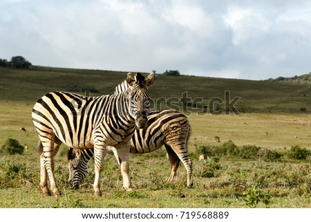 Zebra standing and staring at you in the field.