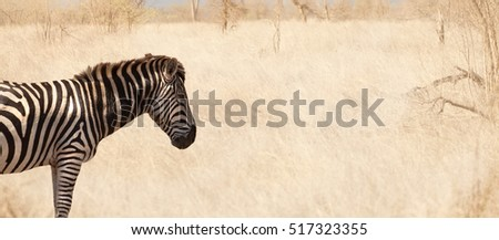 Zebra standing in grass in south africa