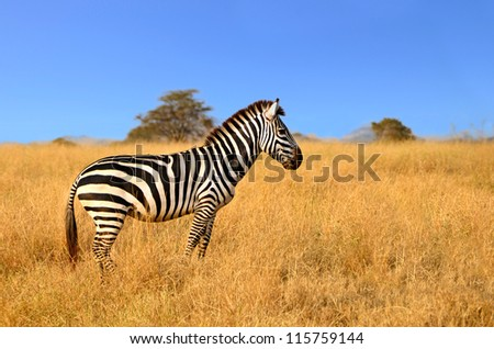 Zebra standing in Grass on Safari and watching curiously on a bright sunny day in Serengeti National Park