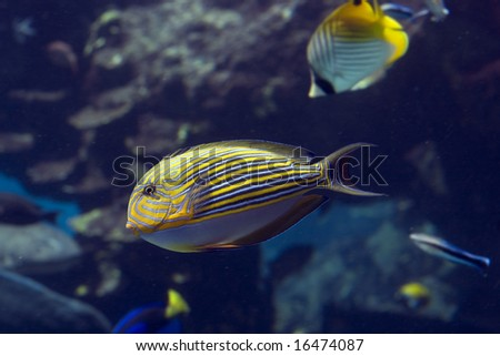 Zebra Surgeonfish (Acanthurus lineatus) swimming over coral reef, with fish in background.
