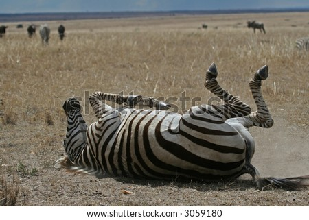 Zebra taking dust bath