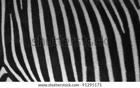 Zebra texture and pattern black and white