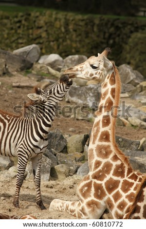 Zebra trying to kiss a giraffe - stock photo