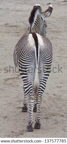 Zebra view from the back - stock photo