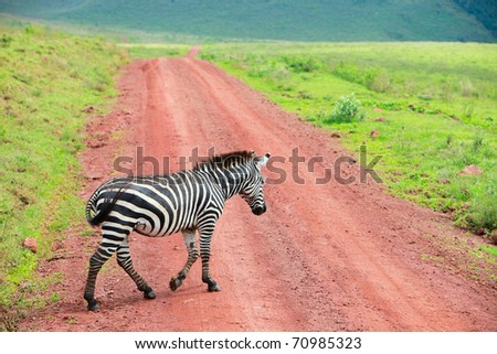 Zebra walking at road in Ngorongoro conservation area in Tanzania