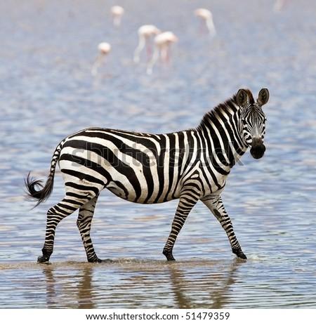 Zebra walking in shallow water Zebra Walking
