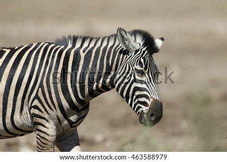 Zebra walking in the African sun, Kruger National Park
