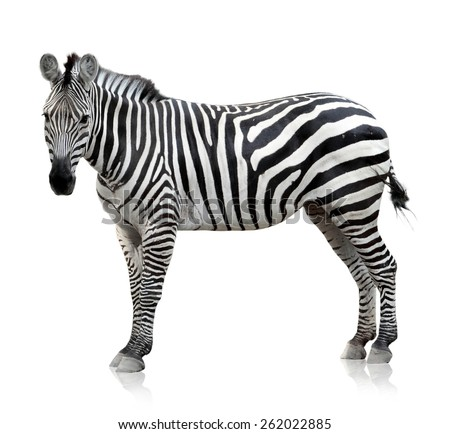 Zebra which is pose on the white background - stock photo