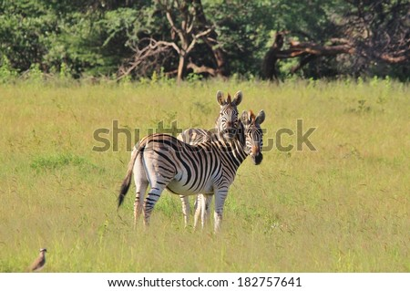 Zebra - Wildlife Background from Africa - Unique Stripes of Beauty.  Animal Love. - stock photo
