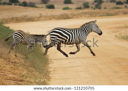 Zebra with a foal running across the road