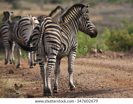Zebra with a herd - stock photo