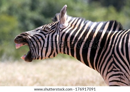 Zebra with it's mouth wide open as if it were shouting - stock photo
