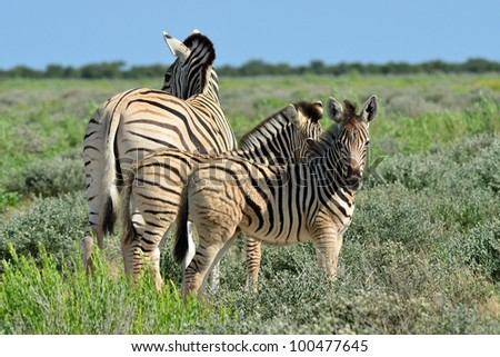 zebra with  two young ones - stock photo