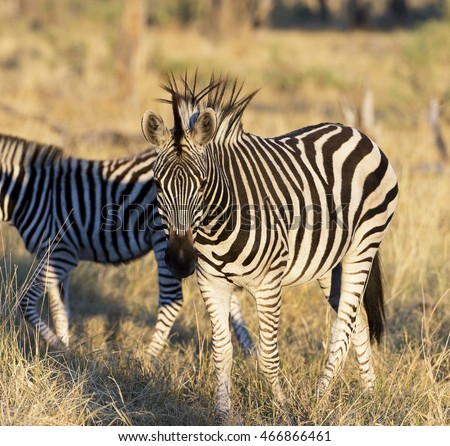 Zebra with very long black mane hairs