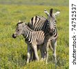 zebra with young one in Etosha national park, Namibia - stock photo