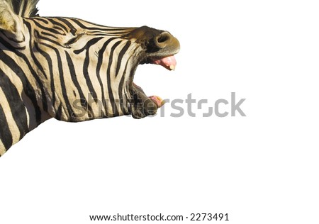 Zebra yawning with its mouth wide open, isolated on white. Good shot for dental projects - stock photo