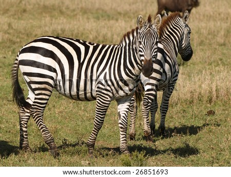Zebras - African animals with white and black stripes.