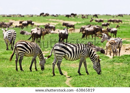 Zebras among a migrating herd of wildebeest in the Serengeti National Park, Tanzania - stock photo