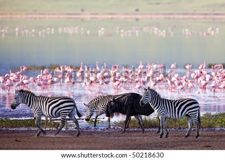 Zebras and a wildebeest walking beside the lake in the Ngorongoro Crater, Tanzania, flamingos in the background - stock photo