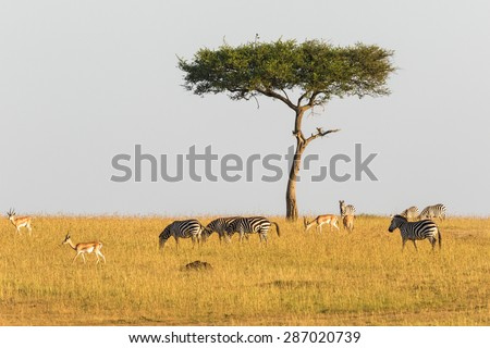 Zebras and gazelles at a lonely tree in the savannah - stock photo