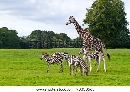 Zebras and giraffe in the wildlife park - stock photo