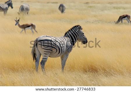 Zebras and impalas - stock photo
