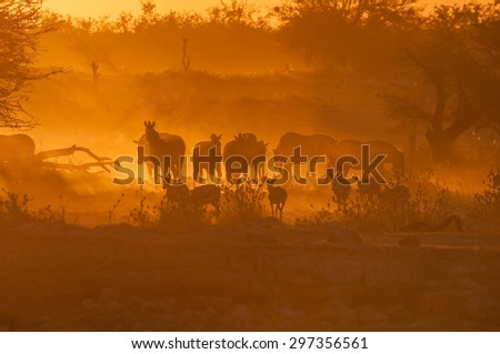 Zebras and springbok walking into a dusty sunset at the waterhole at Okaukeujo in the Etosha National Park