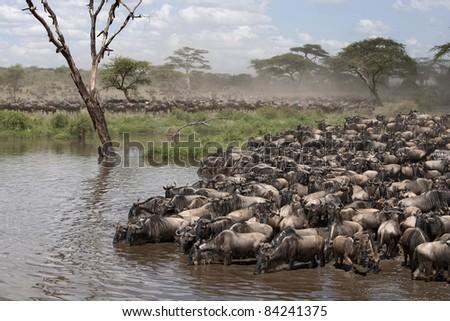 Zebras and Wildebeest at the Serengeti National Park, Tanzania, Africa - stock photo