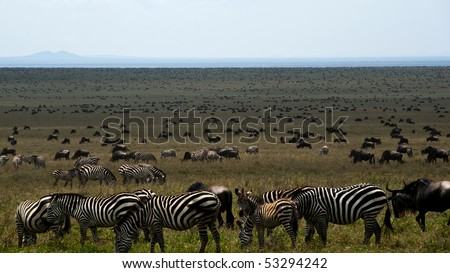Zebras and wildebeest on a plain in eastern africa during the great migration - stock photo