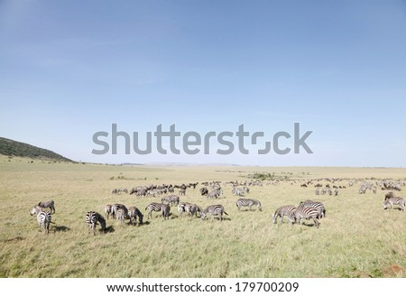 Zebras and wildebeests at Masai Mara National Park, Kenya - stock photo