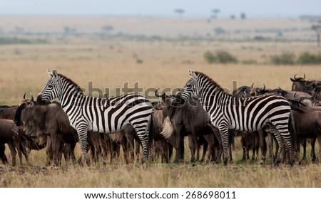 Zebras and wildebeests in the Maasai Mara National Park, Kenya - stock photo