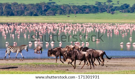 Zebras and wildebeests in the Ngorongoro Crater, Tanzania, flamingos in the background - stock photo