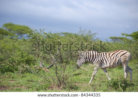 Zebras are African equids  best known for their distinctive black and white stripes. Their stripes come in different patterns unique to each individual. - stock photo