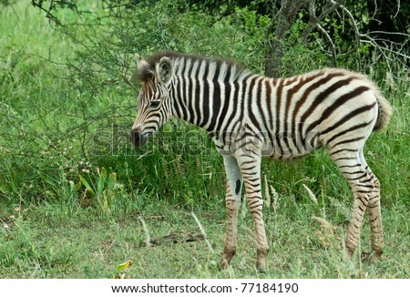Zebras are African equids (horse family) best known for their distinctive black and white stripes. Their stripes come in different patterns unique to each individual. - stock photo