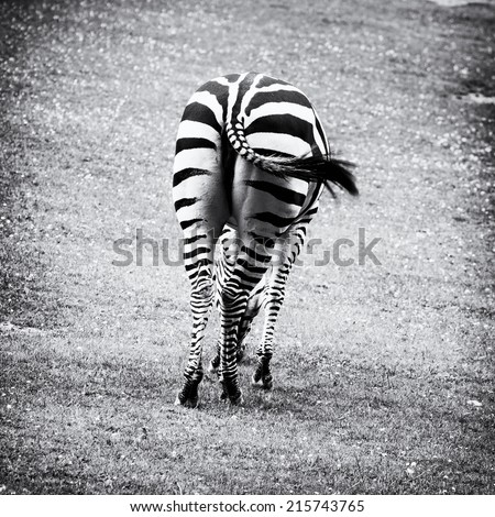 Zebras are several species of African equids (horse family) united by their distinctive black and white stripes. Natural theme. Rear view. - stock photo