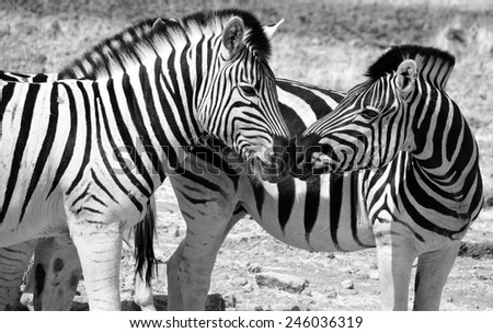 Zebras are several species of African equids (horse family) united by their distinctive black and white stripes. (Etosha National Park) Namibia Africa - stock photo