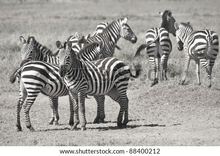Zebras at Amboseli National Park, formerly Maasai Amboseli Game Reserve, is in Kajiado District, Rift Valley Province in Kenya. The ecosystem that spreads across the Kenya-Tanzania border.