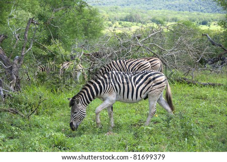 Zebras at Hluhluwe-Umfolozi Game Reserve, located 280 km north of Durban, is the oldest proclaimed park in Africa. In central Zululand, KwaZulu-Natal, South Africa and is known for its rich wildlife - stock photo