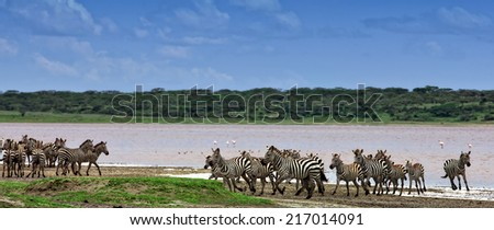 Zebras at Lake Ndutu in the Serengeti National Park, Tanzania - stock photo