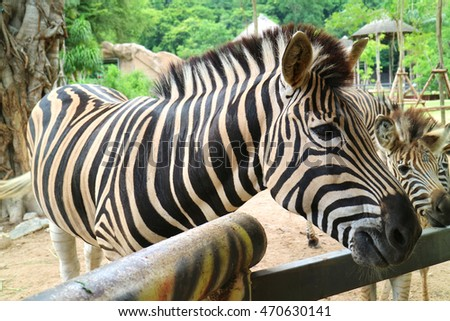 Zebras at Open Zoo,Thailand