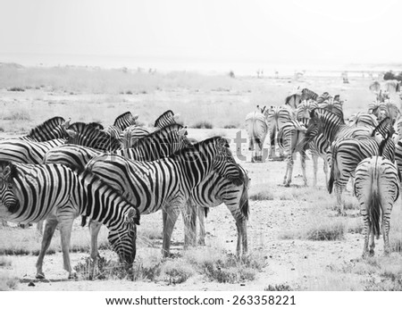zebras at sunset - stock photo